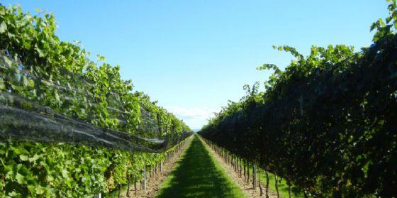 Vini da viti resistenti alle malattie: ottimi risultati all'International Piwi Wine Award (© UniUd)