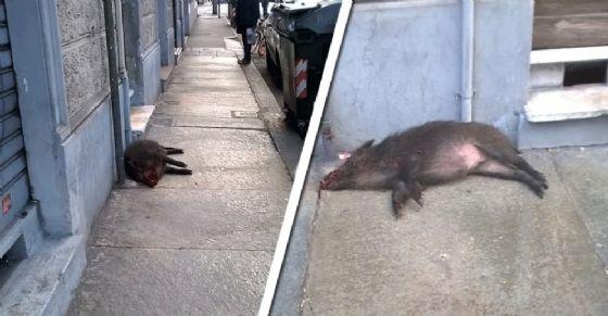 Il cinghiale morto e abbandonato nel marciapiede