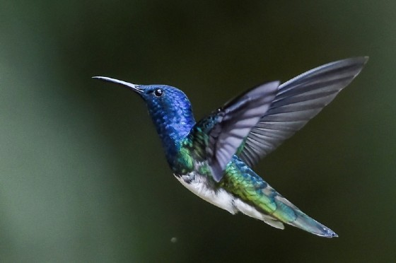 A White-Necked Jacobin (Florisuga mellivora) in Colombia's Cloud Forest of San Antonio, in the rural area of Cali