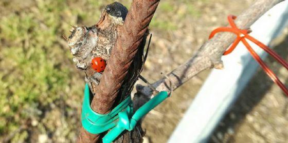 Progetto pilota per viticoltura ecosostenibile in Fvg a Casarsa, Rauscedo e Ramuscello