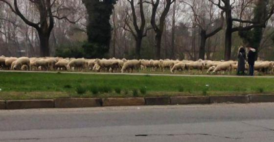 Gregge di pecore al parco della Colletta