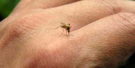 Una zanzara che trasmette la Dengue