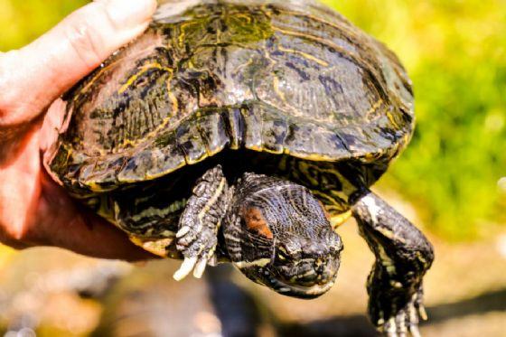 Trachemys scripta, la tartaruga palustre americana