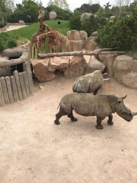 I rinoceronti vicino alle giraffe