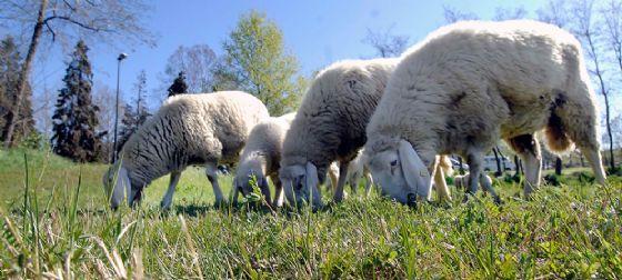 Pecore e mucche a lavoro per il taglio dell'erba a Torino