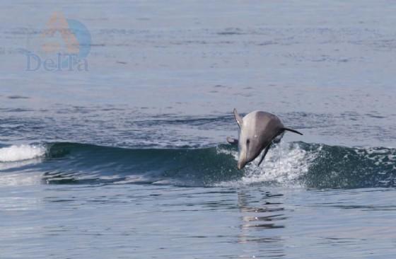 Grado: avvistato un gruppo di delfini in Laguna