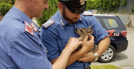 Il cucciolo di capriolo salvato (© Carabinieri)