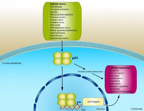 Il funzionamento della proteina p53