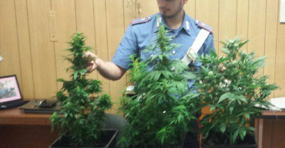 Cannabis sequestrata