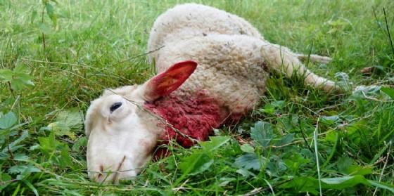 Il lupo colpisce ancora: sbranate tre pecore a Lestans