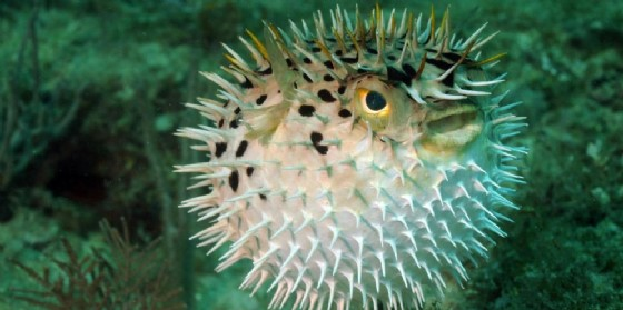 La pericolosa tossina è solitamente secreta dai pesci palla o dai pesci istrice