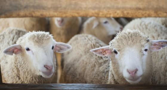 Pecore sono ovini colpiti dalla peste dei piccoli ruminanti