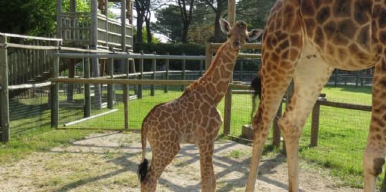 Parco Zoo Punta Verde: la giraffina Berta ha compiuto un anno