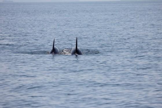 Due delfini spuntano a una decina di metri dal Bagno ducale