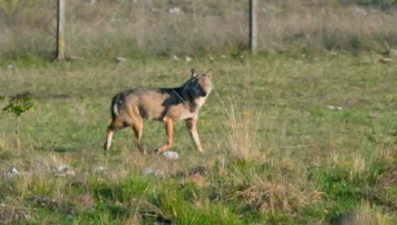 Piccin (Fi): «Servono misure idonee per contenere l'avanzata dei lupi»