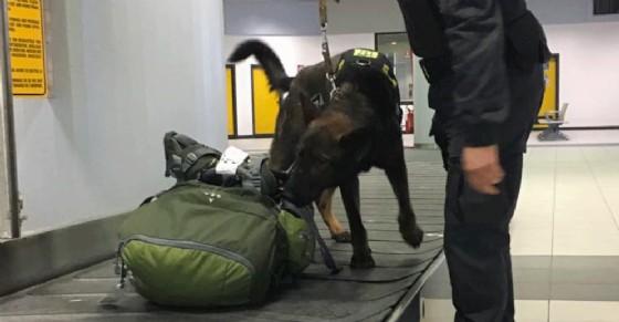 A Caselle con 1 milione e mezzo di euro non dichiarato: il cane Escos trova i soldi all'aeroporto