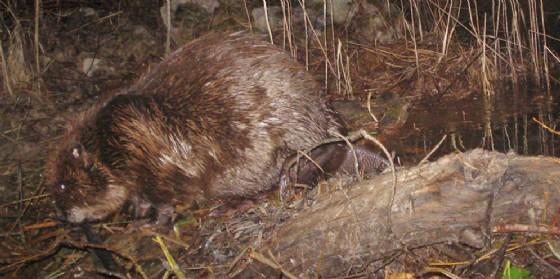 Il castoro torna in Friuli: eccezionale avvistamento nel Tarvisiano
