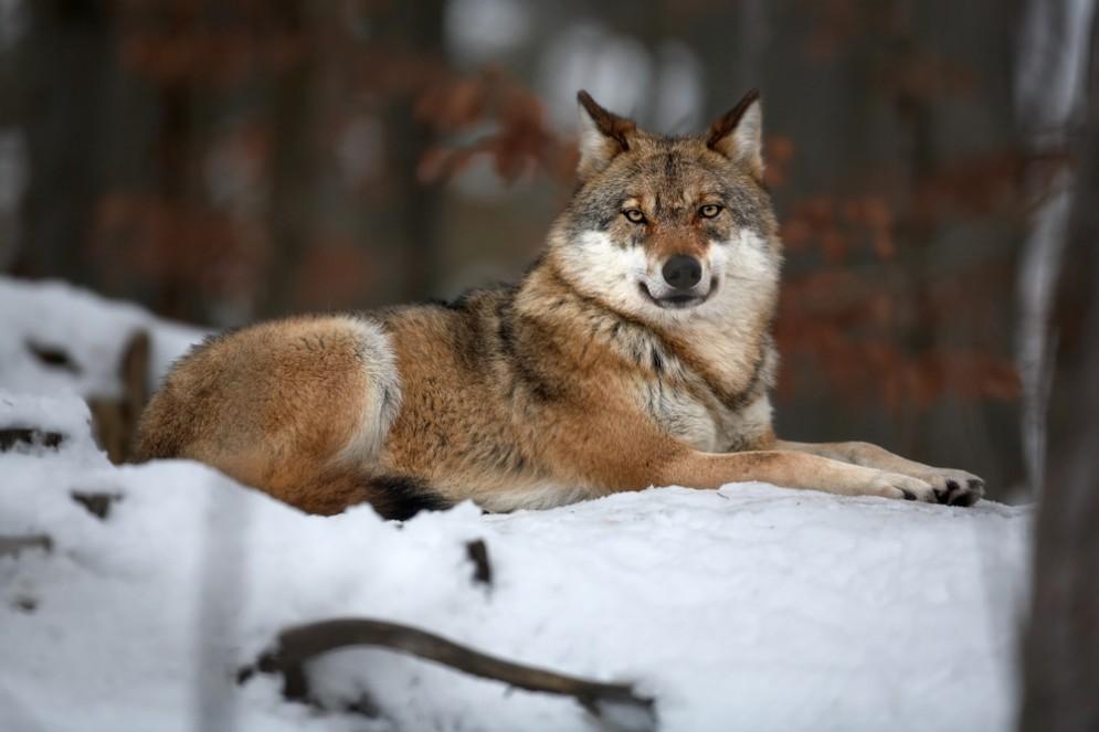 Il lupo rischia l'estinzione