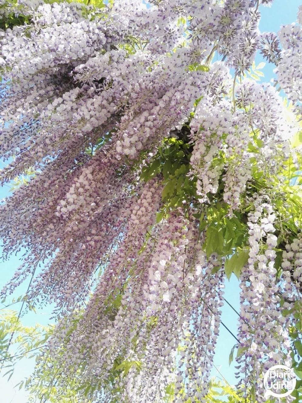 Una pioggia di glicine in fiore (© Diario di Udine)