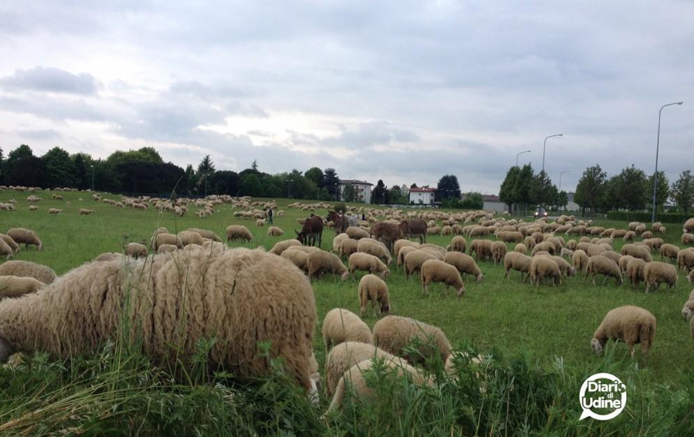 Centinaia di pecore a Feletto Umberto