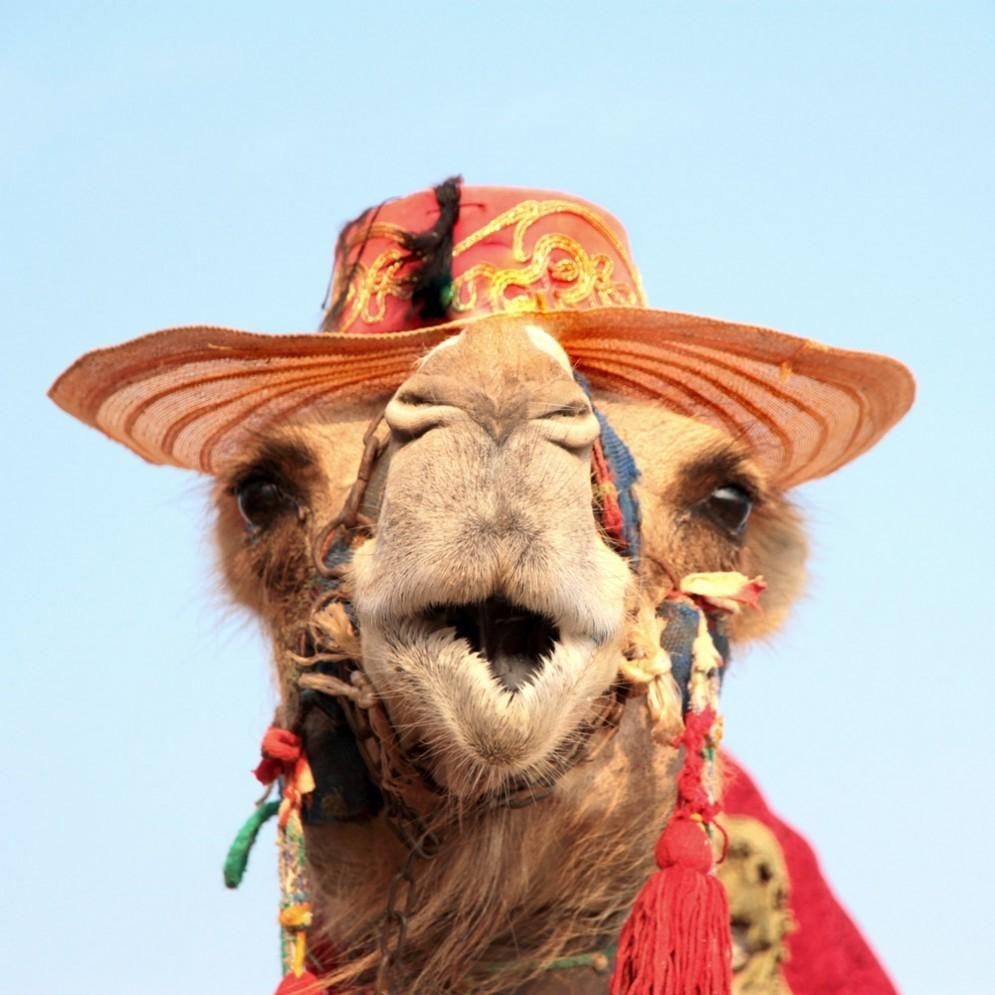 Un cammello in fuga nel Carso