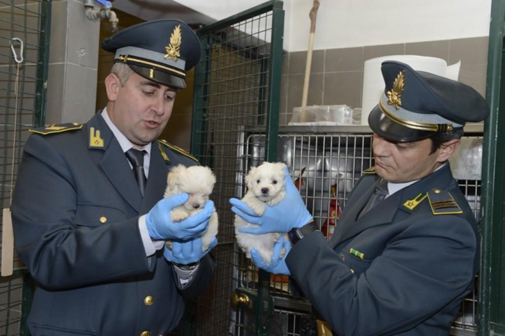I cuccioli sequestrati dalla Gdf