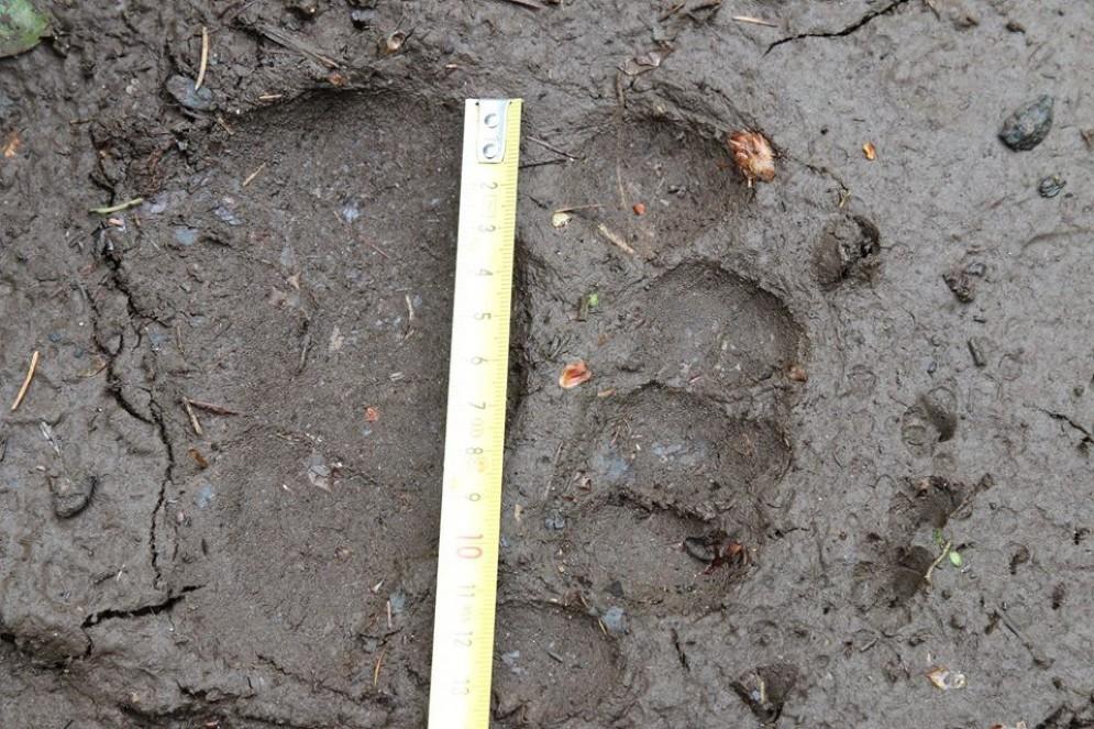 L'impronta del giovane orso (© De Bortoli)