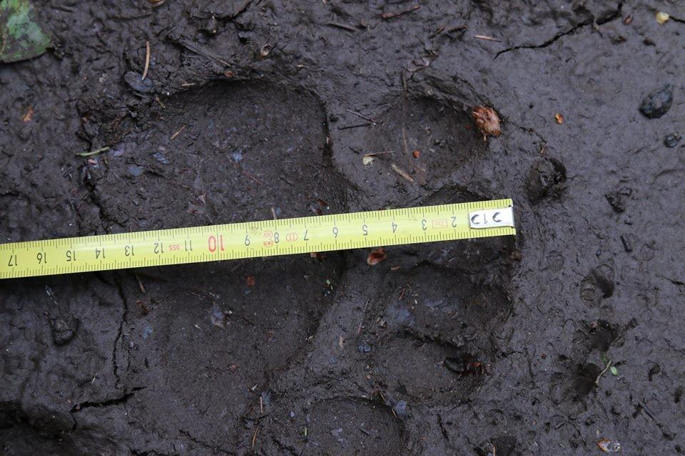 L'impronta del giovane orso