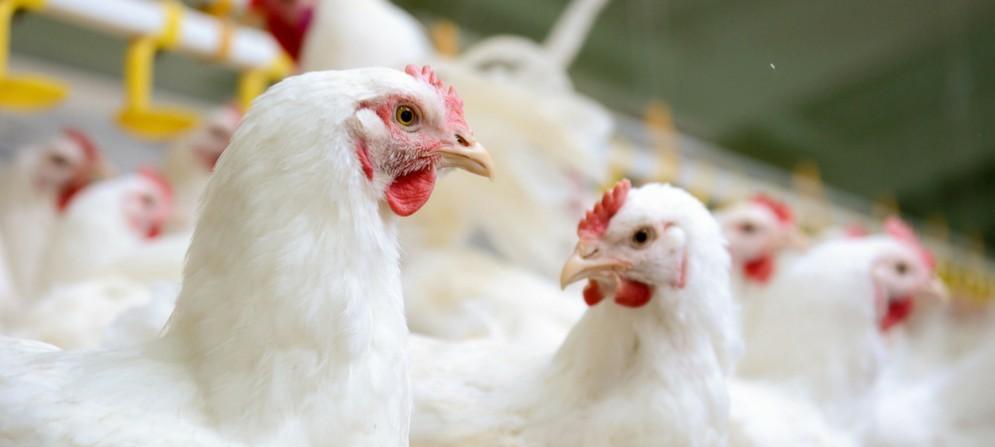 M5S: Frattolin, allarme alti valori diossina nei polli del maniaghese