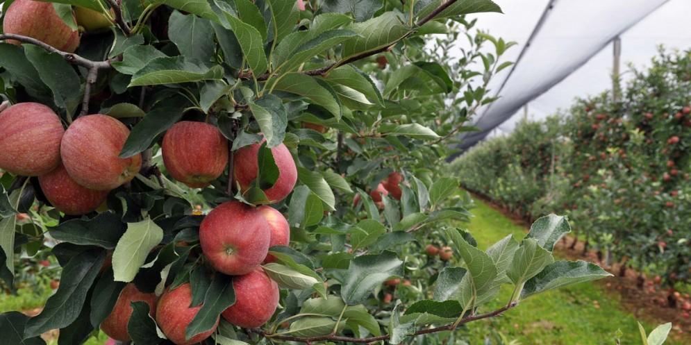 Grandi numeri per la produzione di mele in Fvg