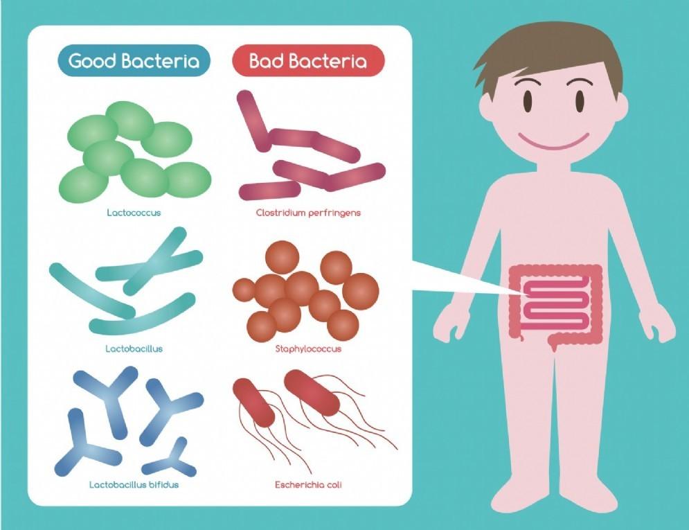 """La composizione dei batteri intestinali """"buoni"""" e """"cattivi"""""""