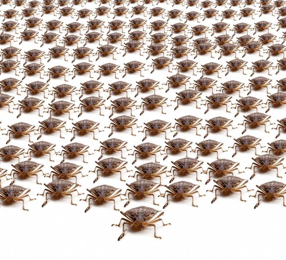 L'invasione delle cimici