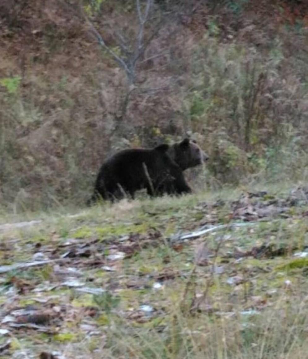 L'orso a Bagni di Lusnizza (© Sarbasini)