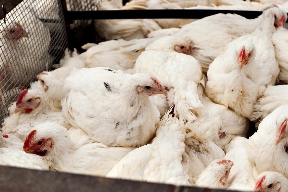 Influenza aviaria sta decimando i polli