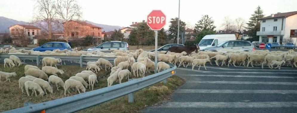 Un gregge di pecore 'invade' la rotonda di Salt di Povoletto (© G.G.)