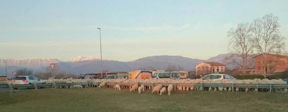 Un gregge di pecore 'invade' la rotonda di Salt di Povoletto
