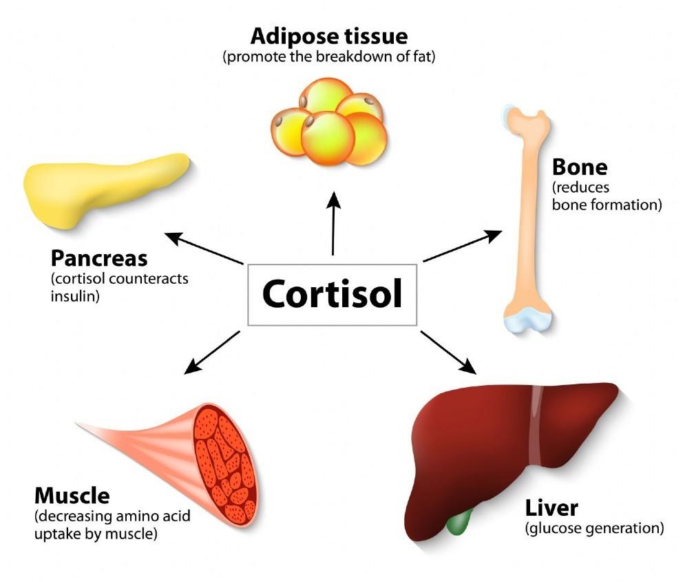 Gli effetti del cortisolo
