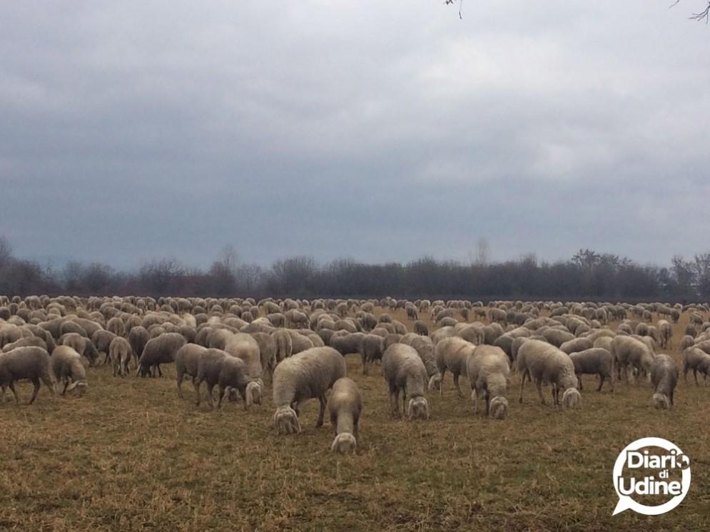 Un gregge di pecore a Feletto: impossibile non notarle