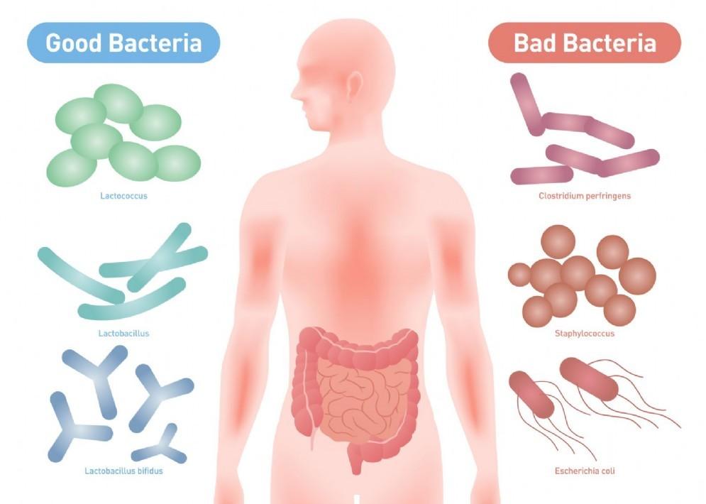 """I batteri """"buoni"""" e """"cattivi"""" che popolano il nostro intestino"""