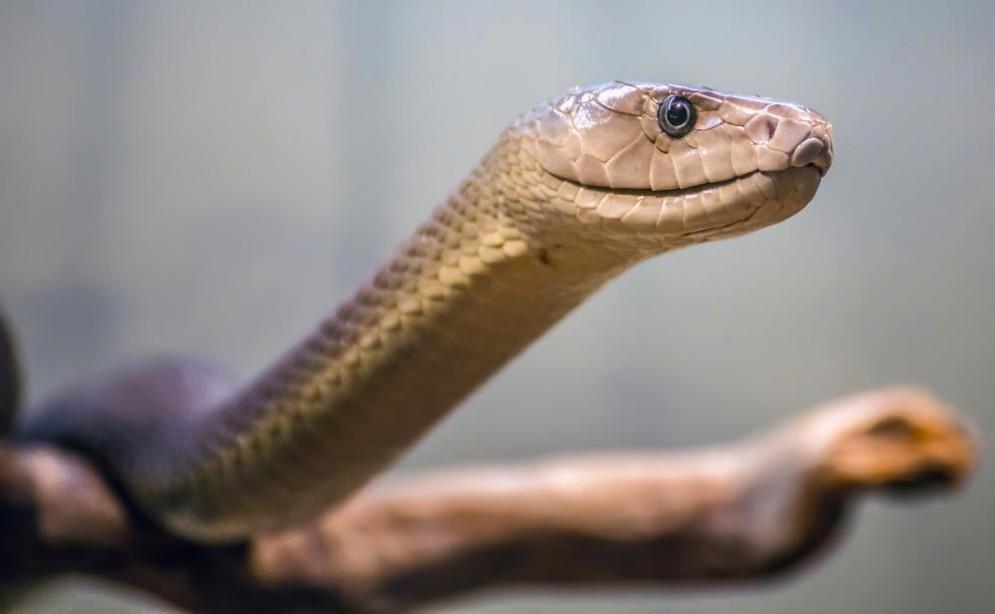 Un serpente mamba