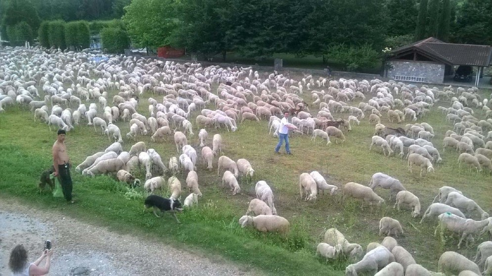 'Emergenza' pecore a Caporiacco: 5 mila capi in transito (© G.G.)