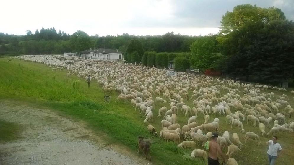 'Emergenza' pecore a Caporiacco: 5 mila capi in transito