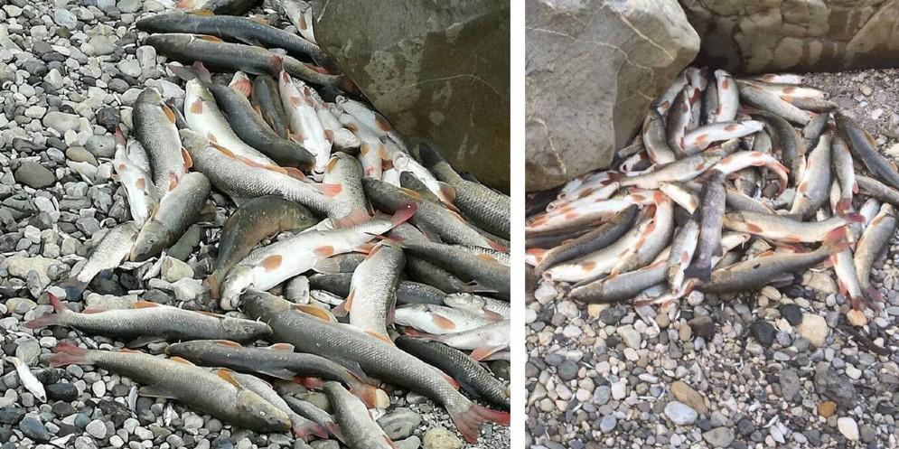 Moria di pesci nel Tagliamento: il M5S contro il dimezzamento della portata deldeflusso minimo vitale