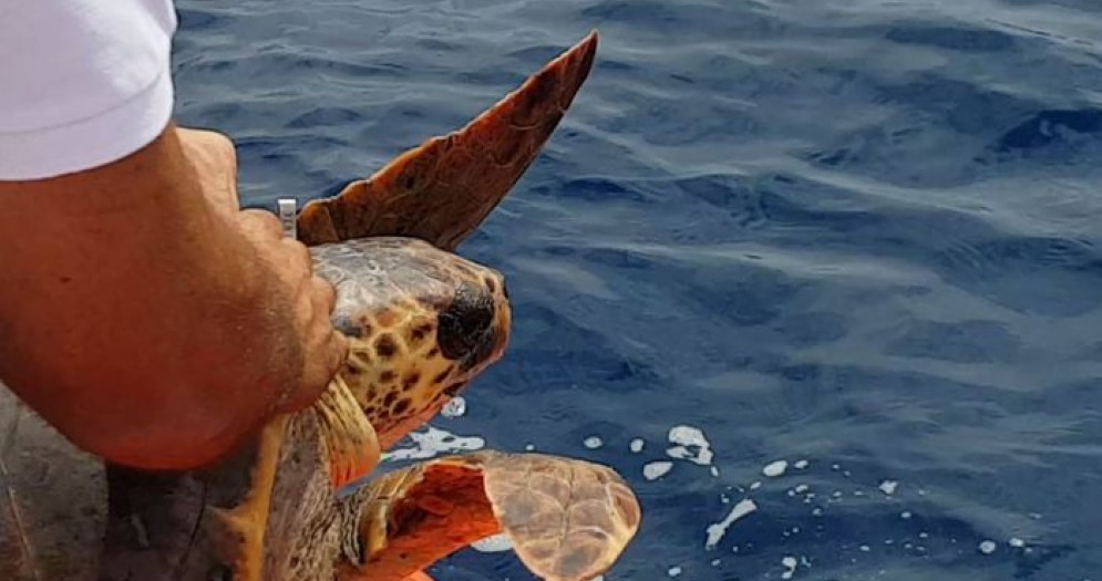L'Acquario di Genova libera «Mirella» la tartaruga ferita