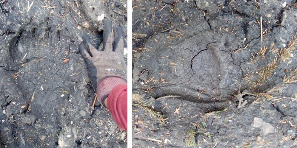 Orso a spasso per la Val Bartolo: ecco le sue orme (© Miola)