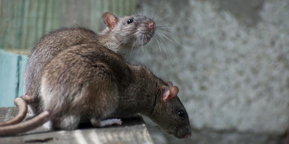 Un topo cade nel reparto pediatria dell'ospedale di Padova