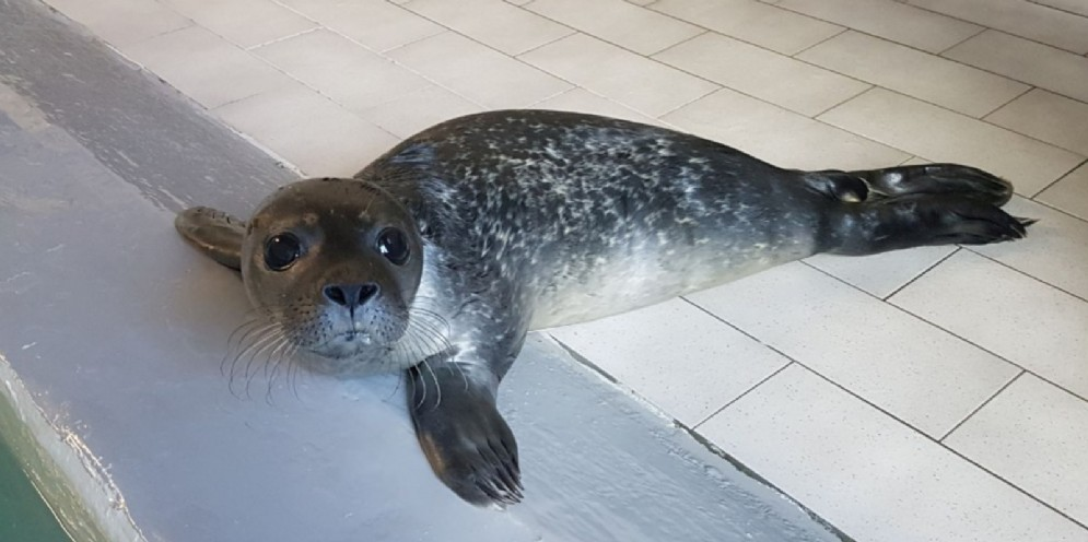 Acquario di Genova, benvenuto al nuovo cucciolo di foca