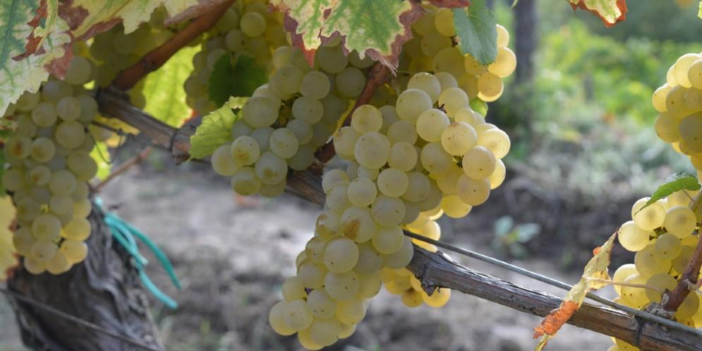 Vino: la Ribolla gialla è un'esclusiva del Friuli Venezia Giulia