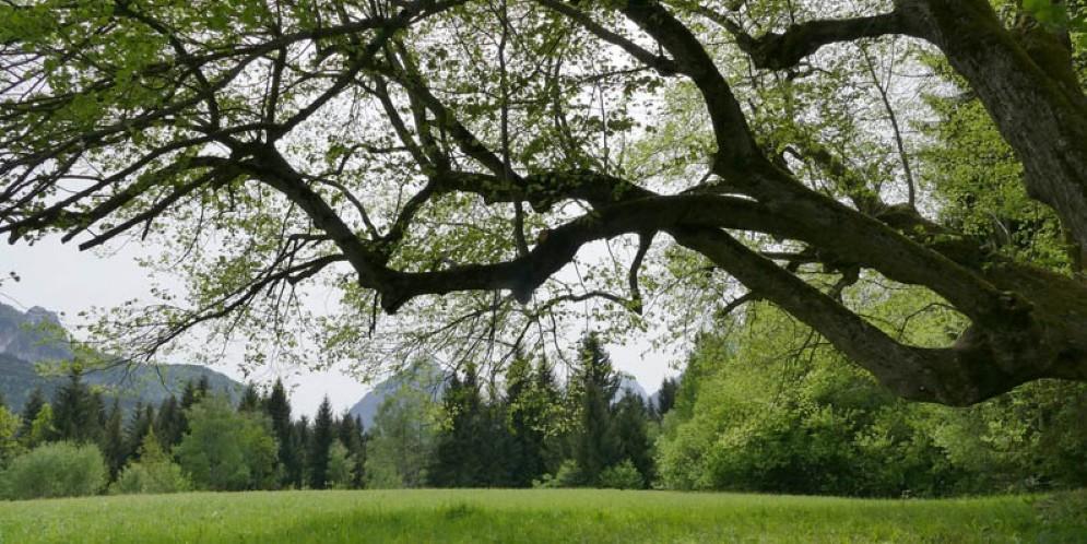 Alberi monumentali: dalla Regione 300 mila euro per interventi su 100 piante