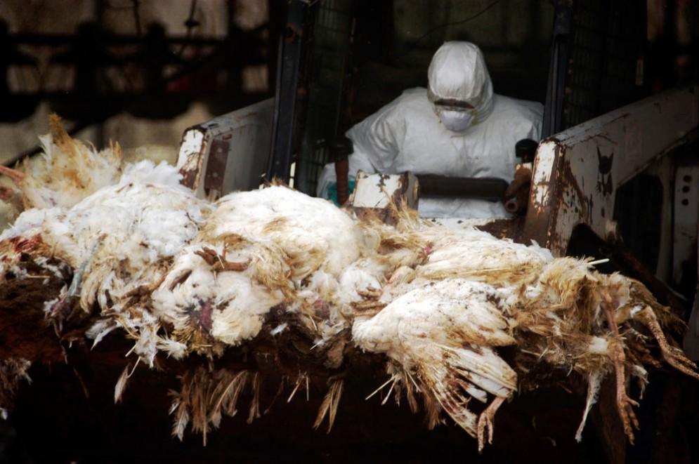 Pollame ucciso per l'aviaria
